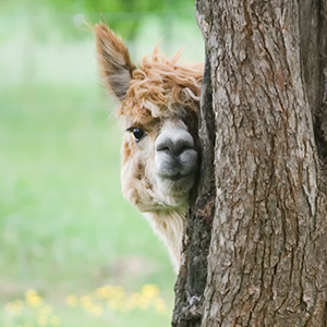Unlike Alpacas - The Best Podcast Guests Aren't Shy